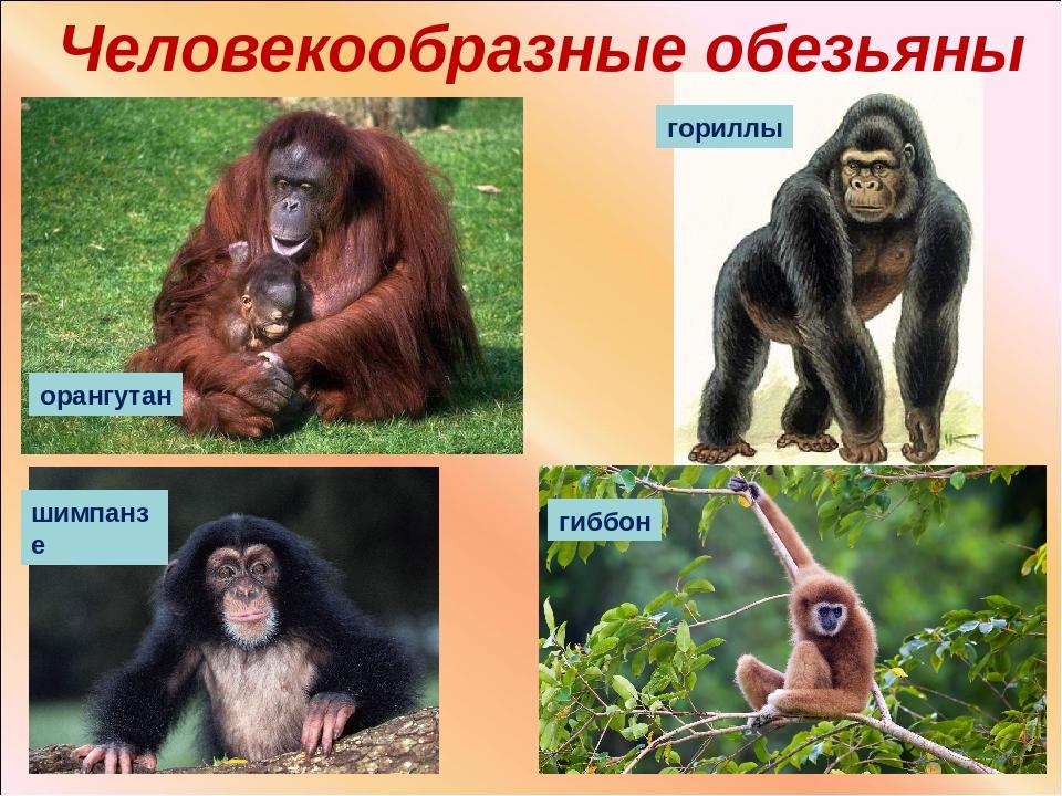 Цепкохвостая обезьяна: краткое описание, виды, среда обитания