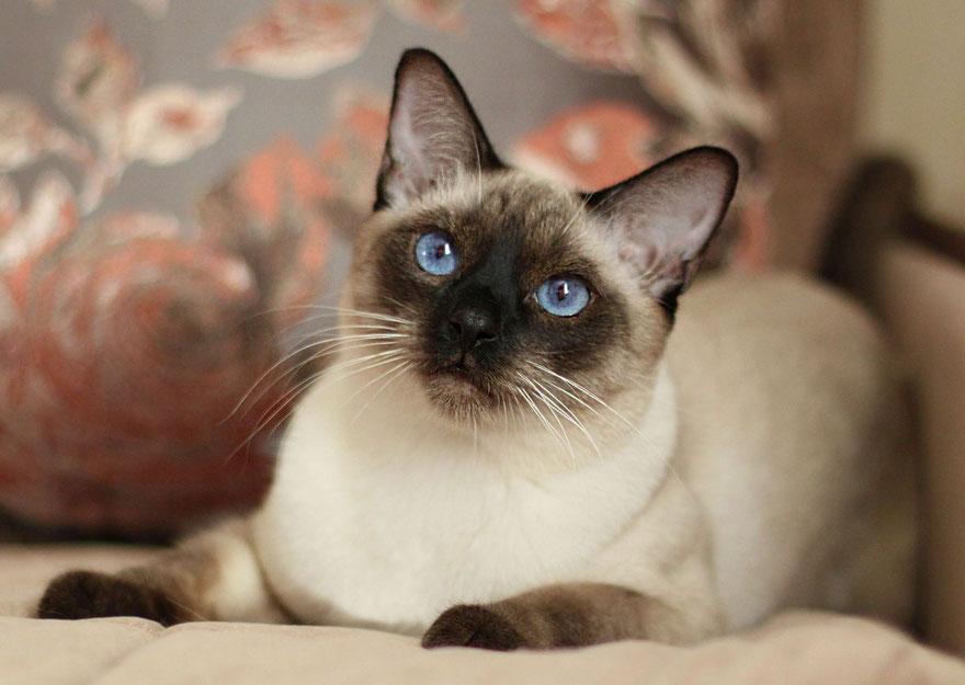 Тайская кошка - описание и фото породы, особенности характера, стандарты содержания и ухода за котенком - gourmet-cat.ru