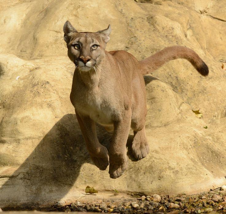 Бенгальская кошка леопардового окраса: характер и описание породы, сколько стоит котенок?