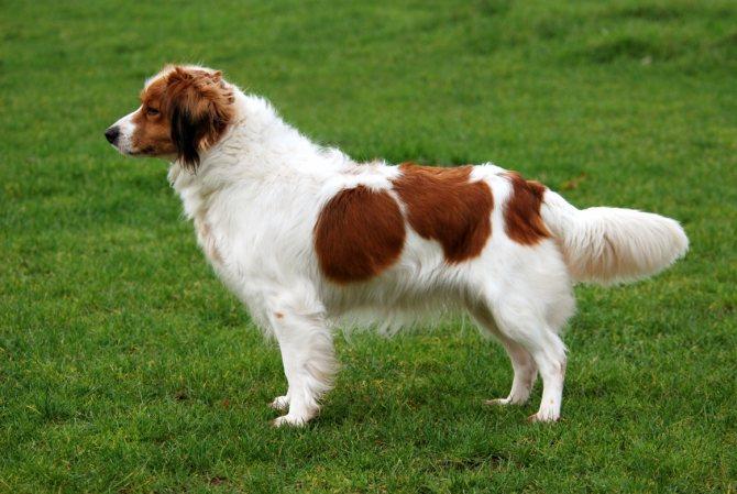 Коикерхондье собака. описание, особенности, цена, уход и содержание породы коикерхондье