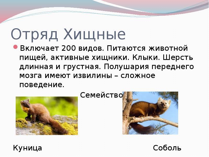 Лесная куница (martes martes): виды, фото, интересные факты