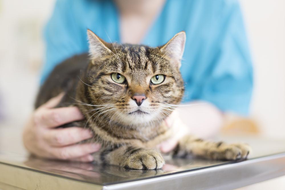 """Воспаление кишечника у кошек (innflammatory bowel disease) - симптомы, лечение неспецифического воспаления кишечника у кошек. ветеринарная клиника """"зоостатус""""."""