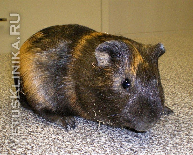 Содержание морских свинок — уход, кормление и лечение