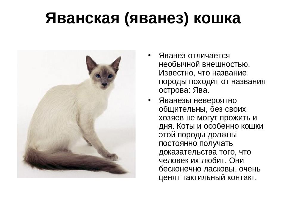 Яванская кошка (яванез): описание породы с фото — pet-mir.ru