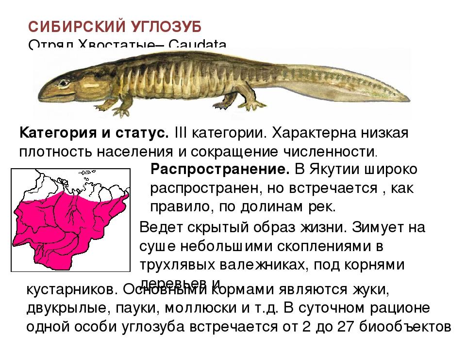 Сибирский углозуб — интересные факты и сведения