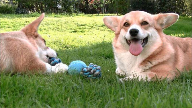 Самые глупые породы собак в мире, топ-10