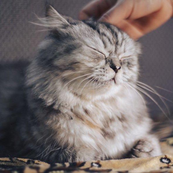 Почему кошки мурлыкают? почему коты мурчат, когда их гладишь? механизм кошачьего мурчания