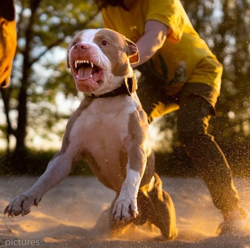 Собака питбуль: советы по уходу и дрессировки