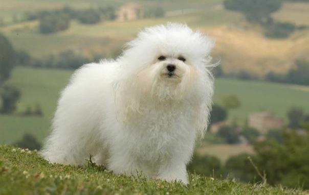 Мальтийская болонка ???? фото, описание, характер, факты, плюсы, минусы собаки ✔