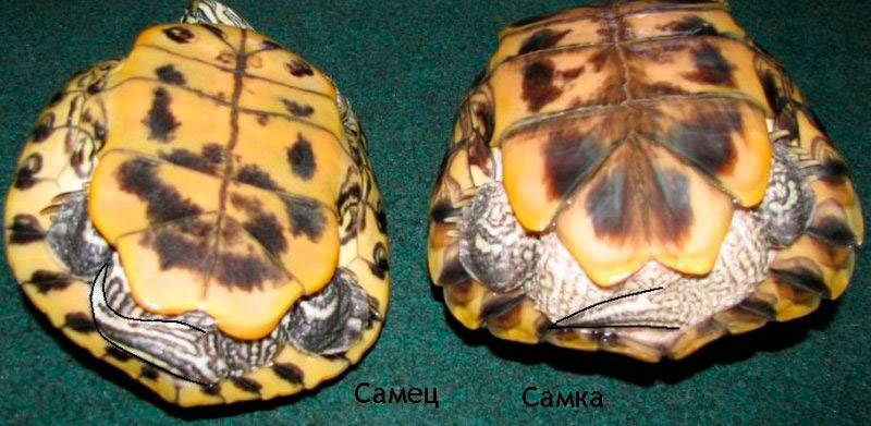 6 верных способов определить пол красноухой черепахи