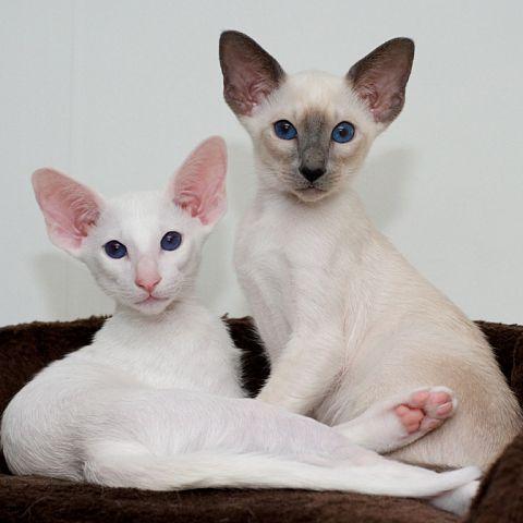 Форин вайт: описание породы кошек, уход, цена - oozoo.ru