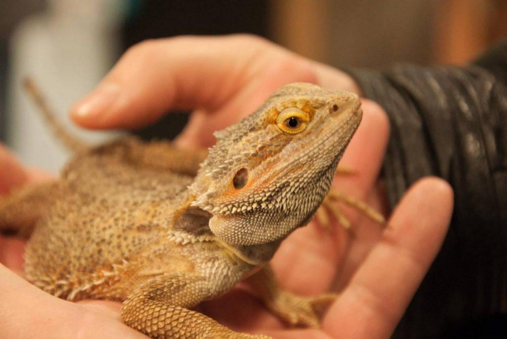 Бородатая агама | описания и фото животных | некоммерческий учебно-познавательный интернет-портал зоогалактика