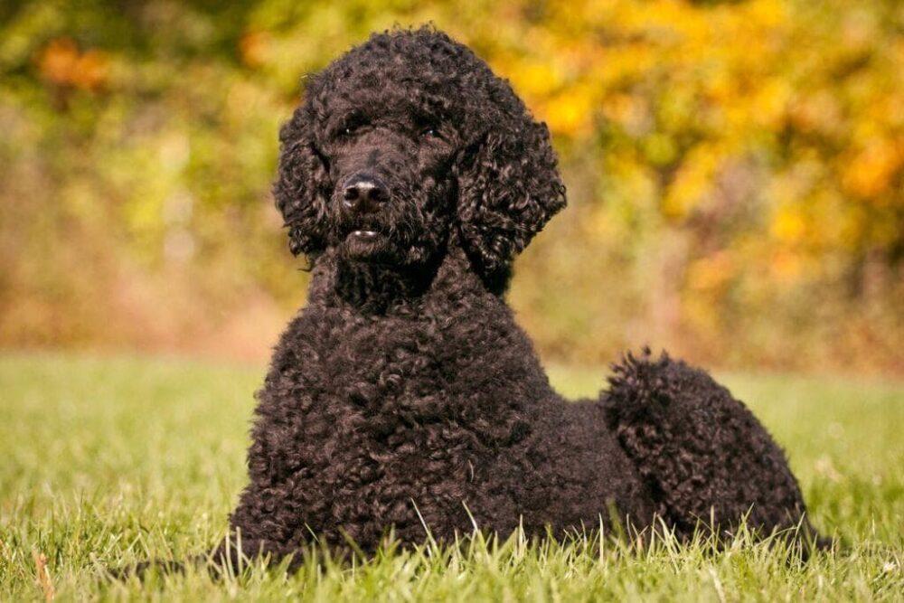 Кудрявая собака: большие и маленькие кучерявые породы