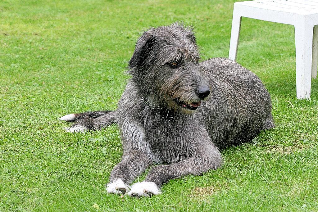 Ирландский волкодав ???? фото, описание, характер, факты, плюсы, минусы собаки ✔