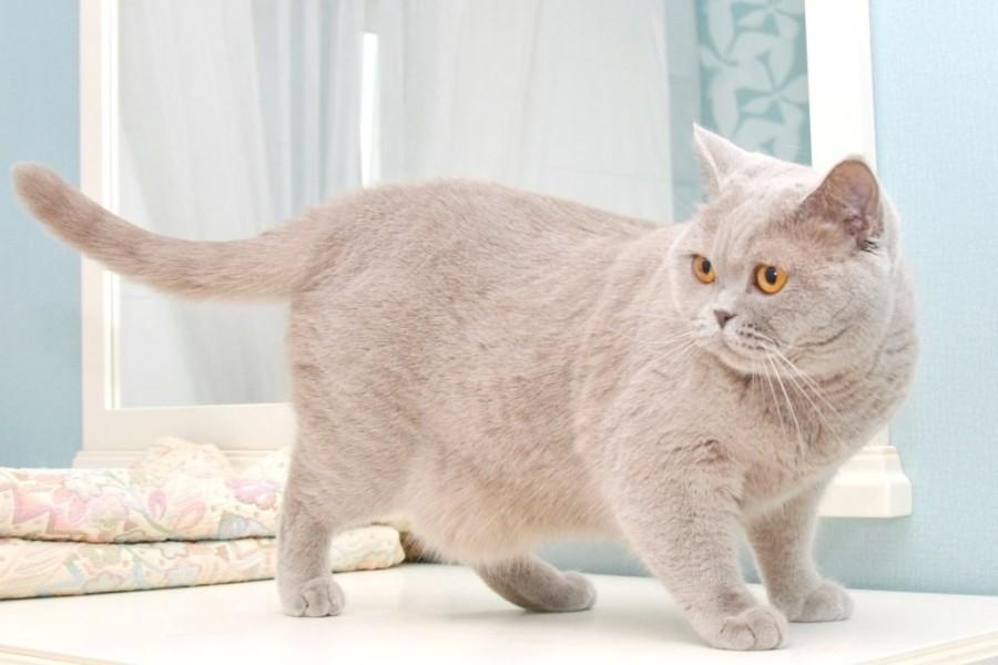 Британская короткошерстная кошка: 110 фото, описание породы, все о характере и кошке, цена, разновидности