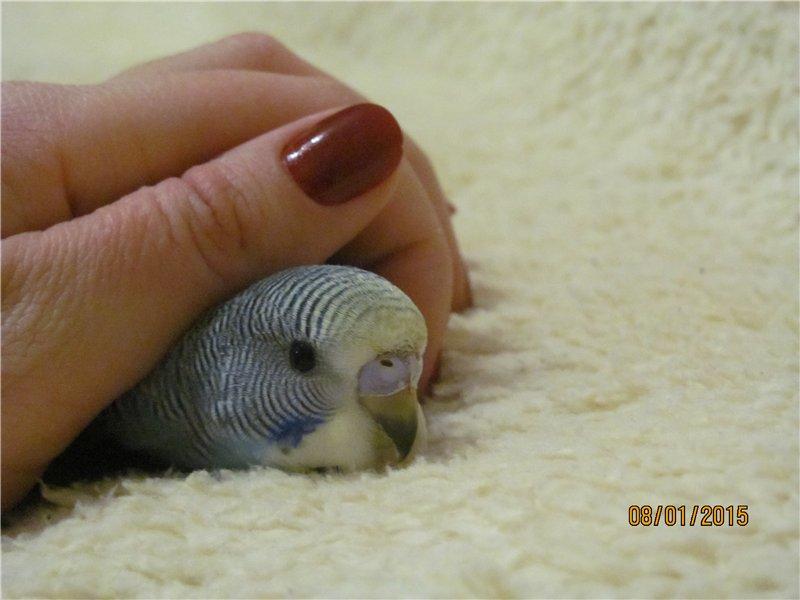 Славный и веселый волнистый попугай