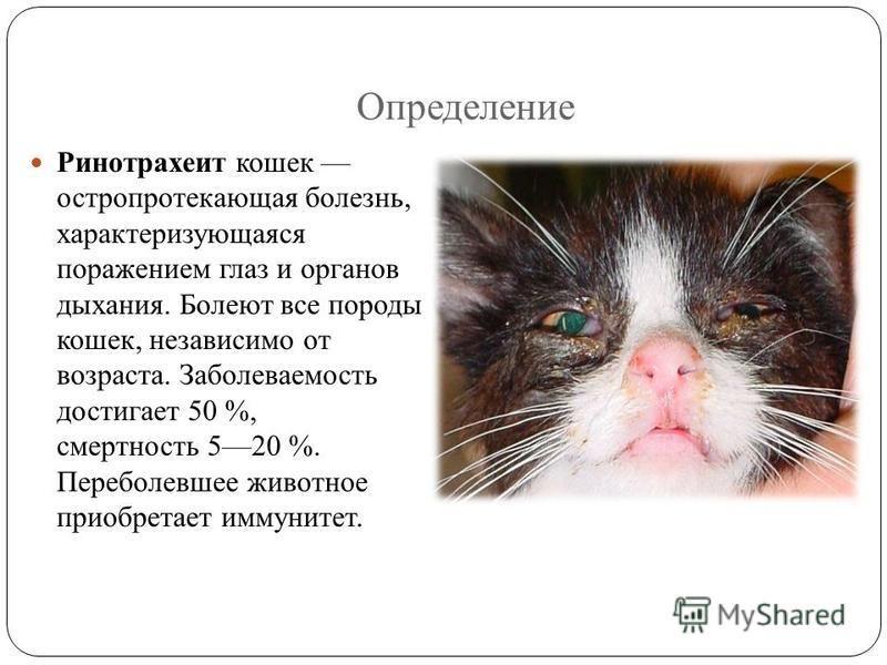 Вирусные инфекции у кошек и котов