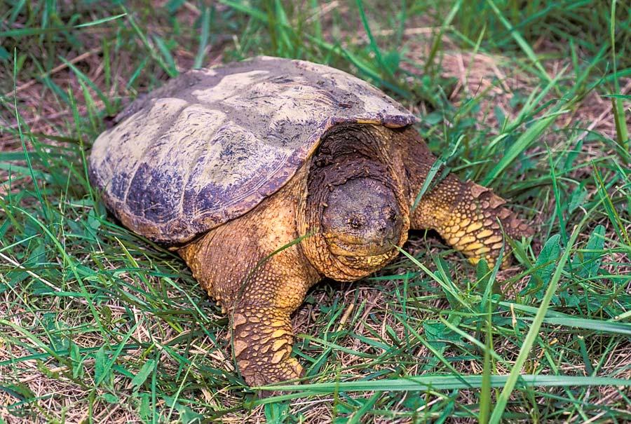Каймановая черепаха: самая кровожадная тортилла в мире, откусит палец и не заметит
