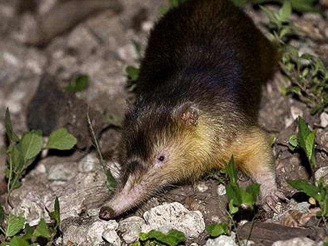 Щелезуб животное. образ жизни и среда обитания щелезуба