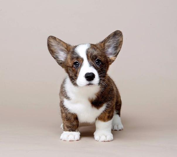 Корги (38 фото): описание породы собак, характер щенков вельш-корги. характеристика собак черного и других видов окраса. отзывы владельцев