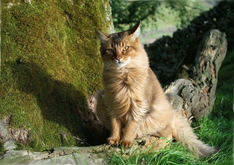 Сомалийская кошка ???? фото, описание, характер, факты, плюсы, минусы кошки ✔