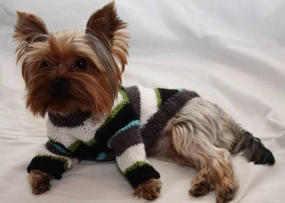 Вязание для собак: одежда спицами и крючком своими руками для начинающих, схемы, описание, модели для мелких пород