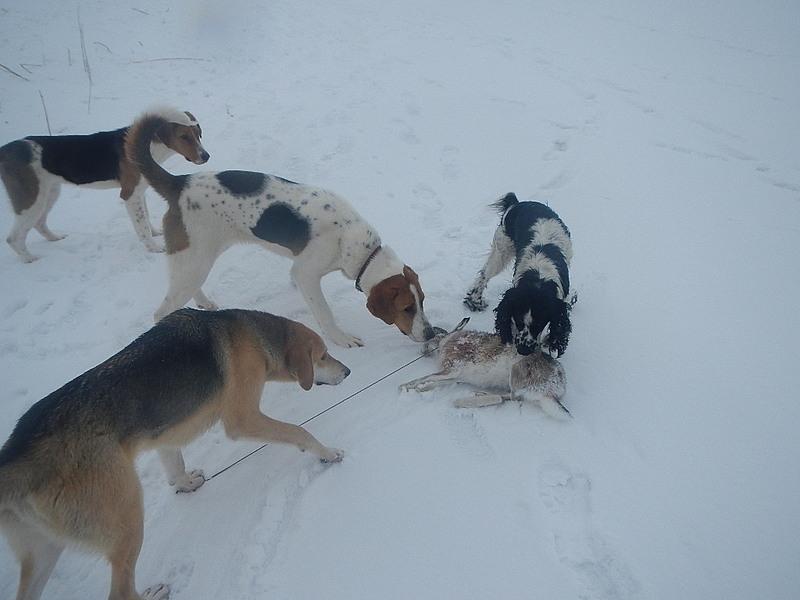 Натаска охотничьих собак: упражнения для дрессировки и обучение охоте