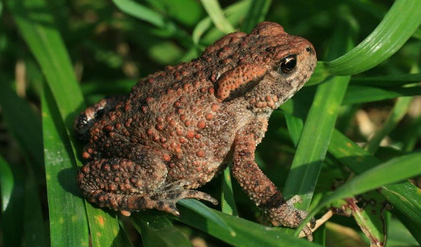 Жаба серая: образ жизни, размножение, фото, описание