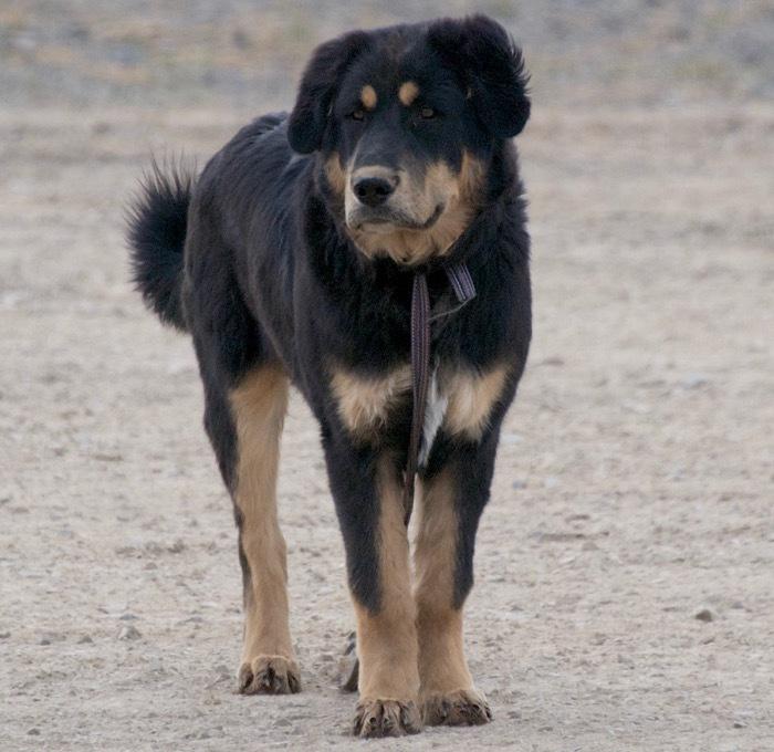 Банхар (монгольская овчарка): описание породы с фото видео