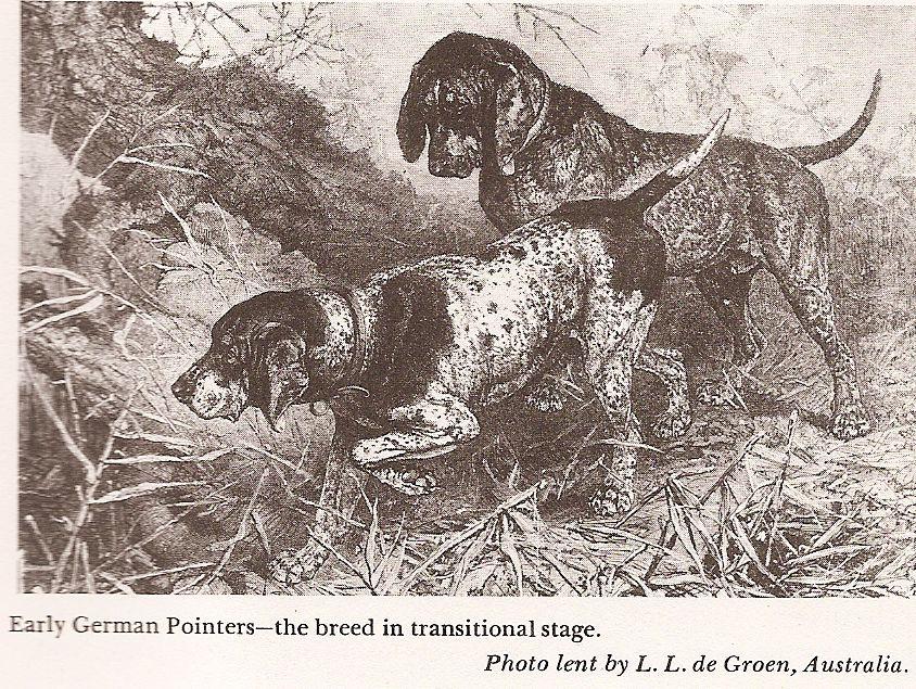 Описание охотничьих пойнтеров, отзывы об этой породе собак
