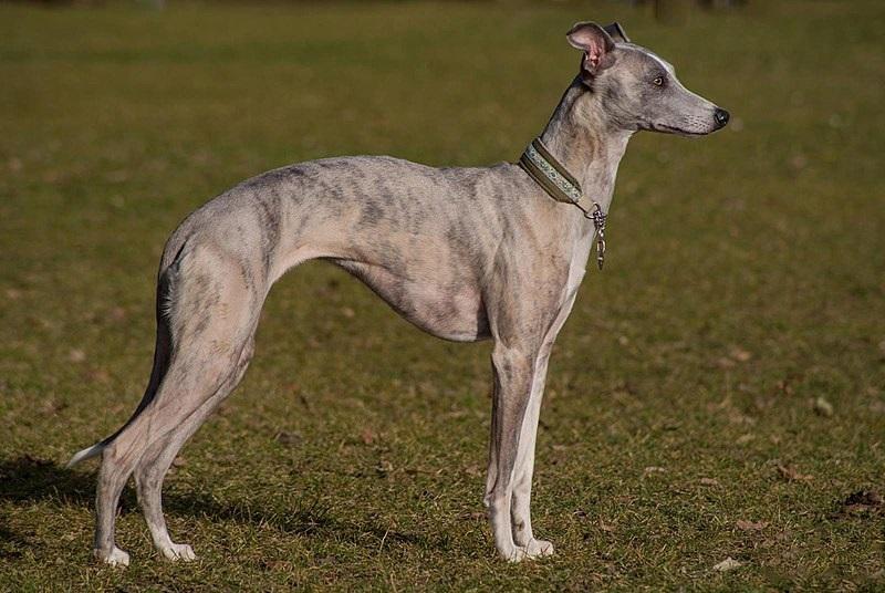 Характеристика собак породы грейхаунд с отзывами и фото