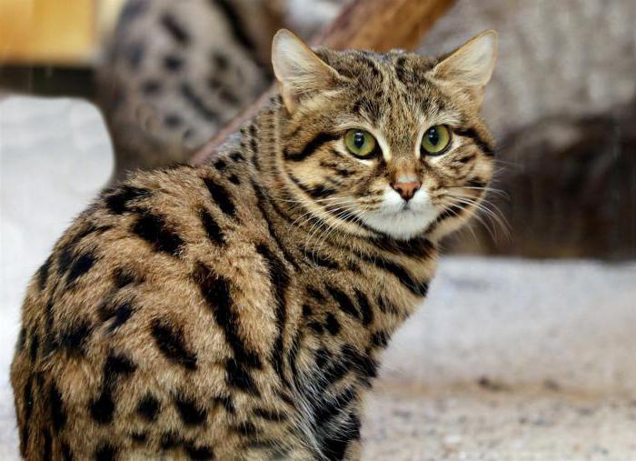 Черноногая кошка. образ жизни и среда обитания черноногой кошки   животный мир