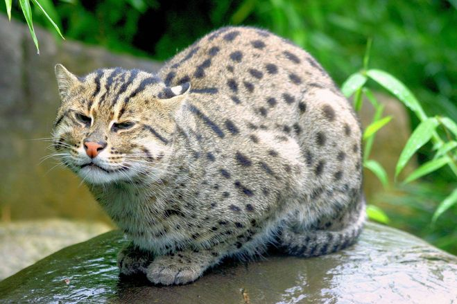 Виверровый кот рыболов: описание характера и внешности дикой кошки, образ жизни и фото
