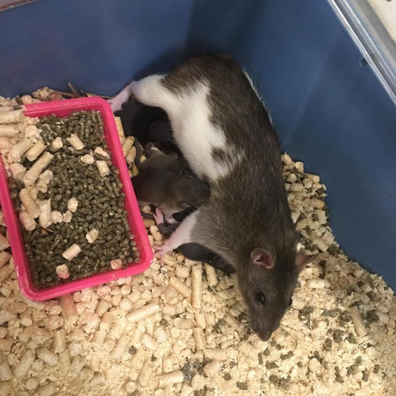Крысы дамбо: уход и содержание, гигиена и купание, кормление и дрессировка