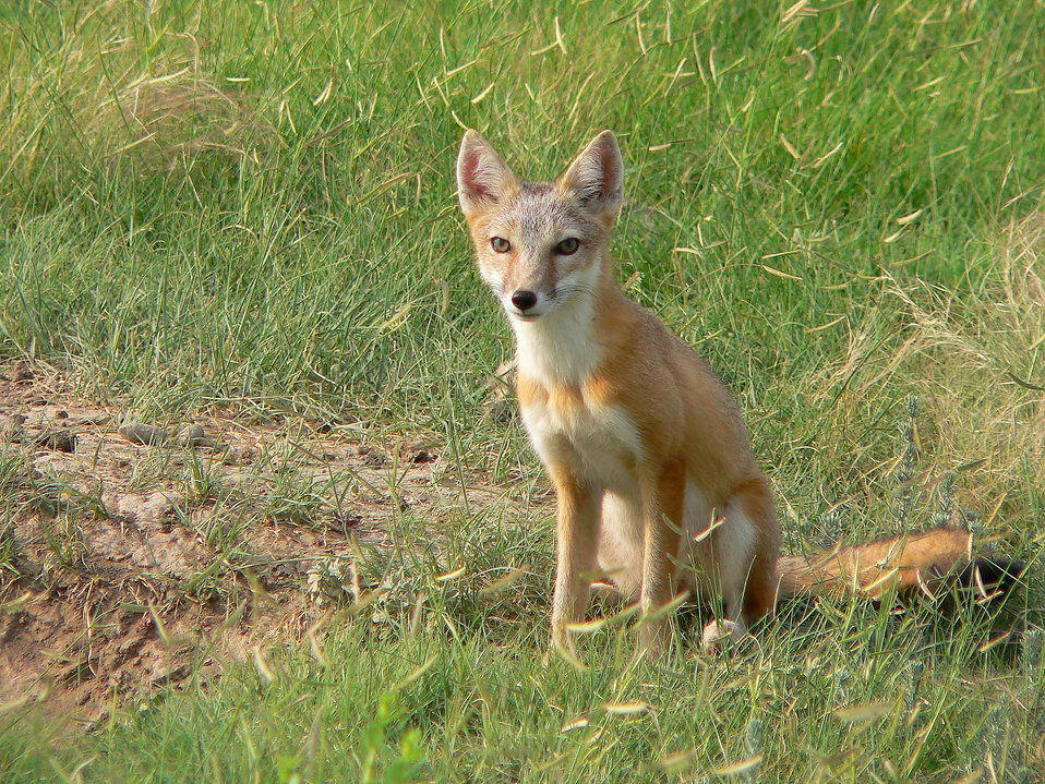 Корсак, степная лисица. vulpes corsac linnaeus = корсак, степная лисица