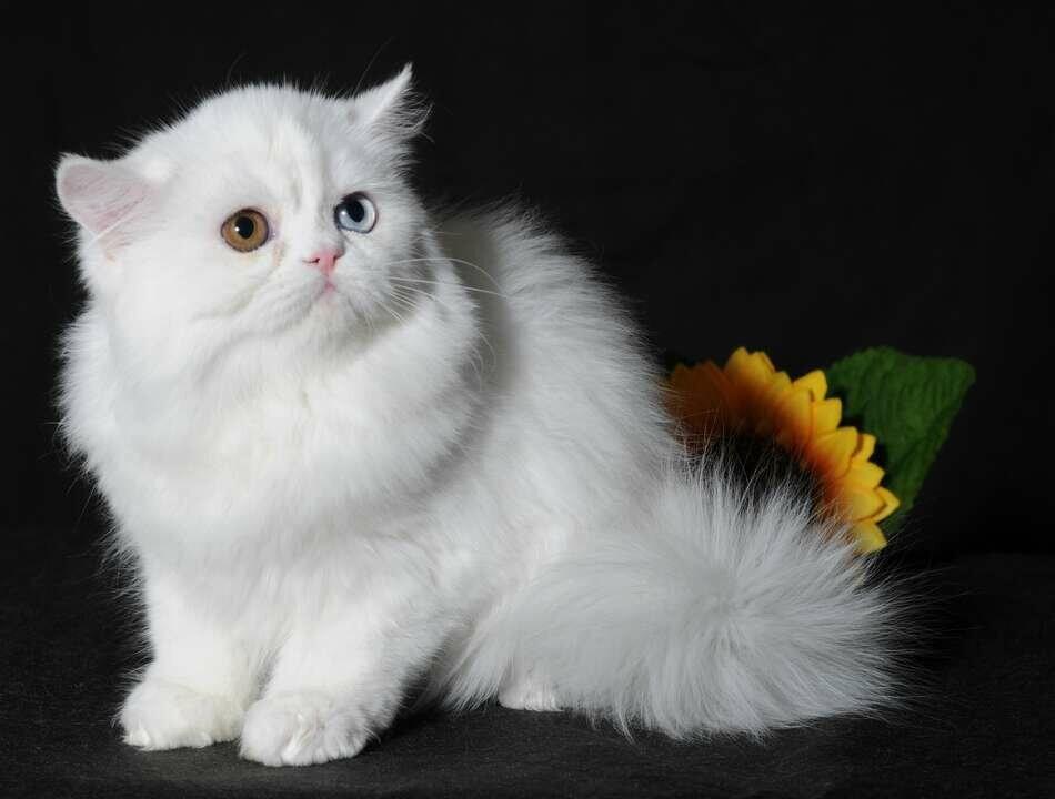 Наполеон, менуэт (фото) карликовые кошки, размер вес цена стоимость котенка история породы внешний вид характер темперамент наполеона здоровье кормление менуэта наполеона