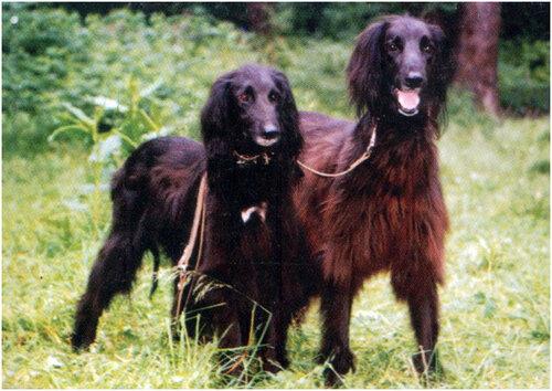 Охотничья собака для горных условий: тайган
