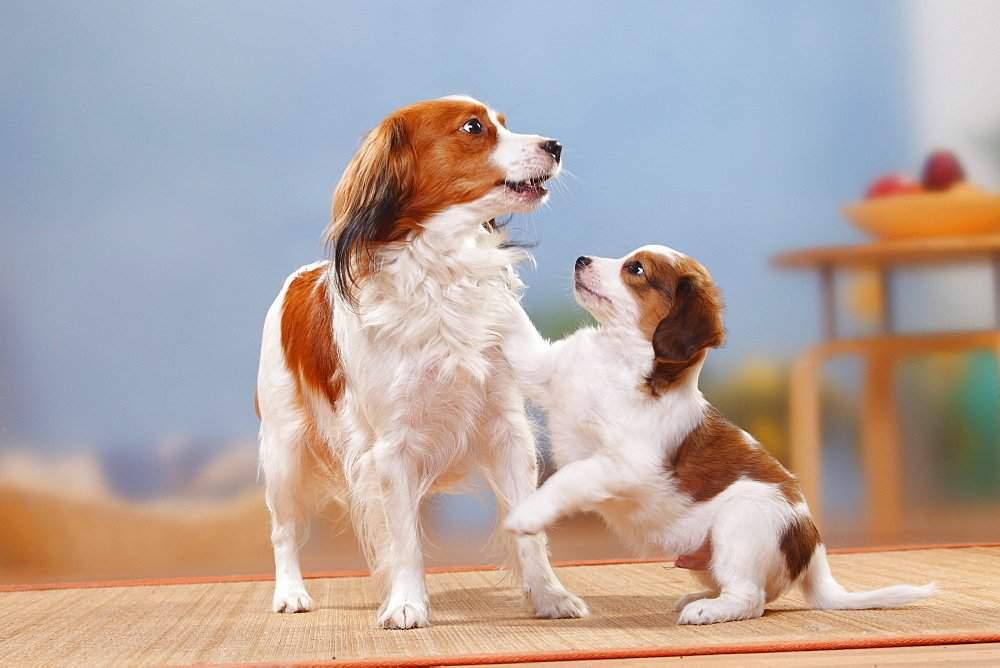 Уход за английским кокер-спаниелем. собака английский кокер-спаниель: как воспитать ласкового компаньона из «проворного охотника щенки кокер спаниеля уход и воспитание
