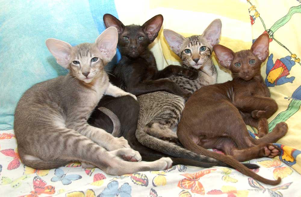 Ориентальная кошка (200 фото):  стандарты с точным описанием породы кошек (сколько живет, какой характер и окрас шерсти)