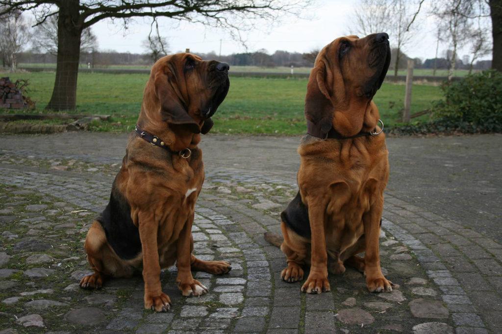 Характеристика собак породы бладхаунд с отзывами и фото