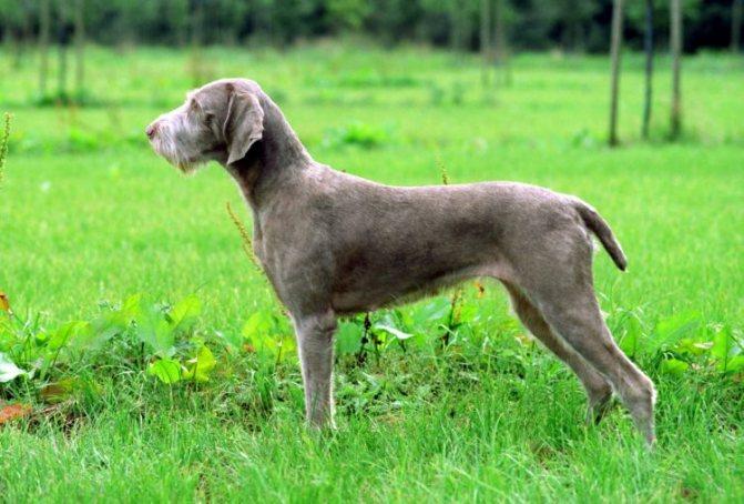 Английский пойнтер собака. описание, особенности, виды, уход и цена породы
