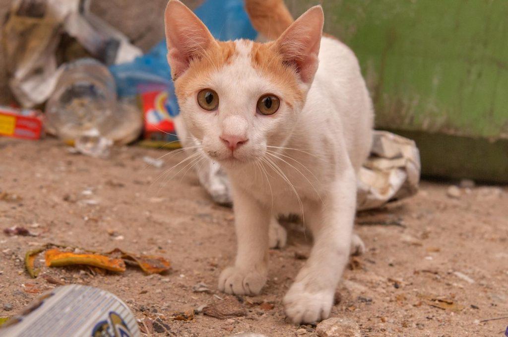 Все о мейн-куне: стандарт породы с фото, описание характера кошки, особенности ухода
