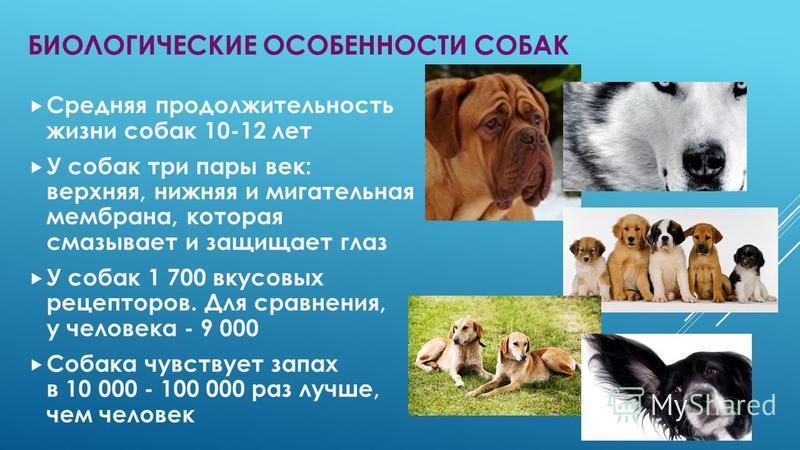 Алабай: описание породы, характер собаки и щенка, фото, цены