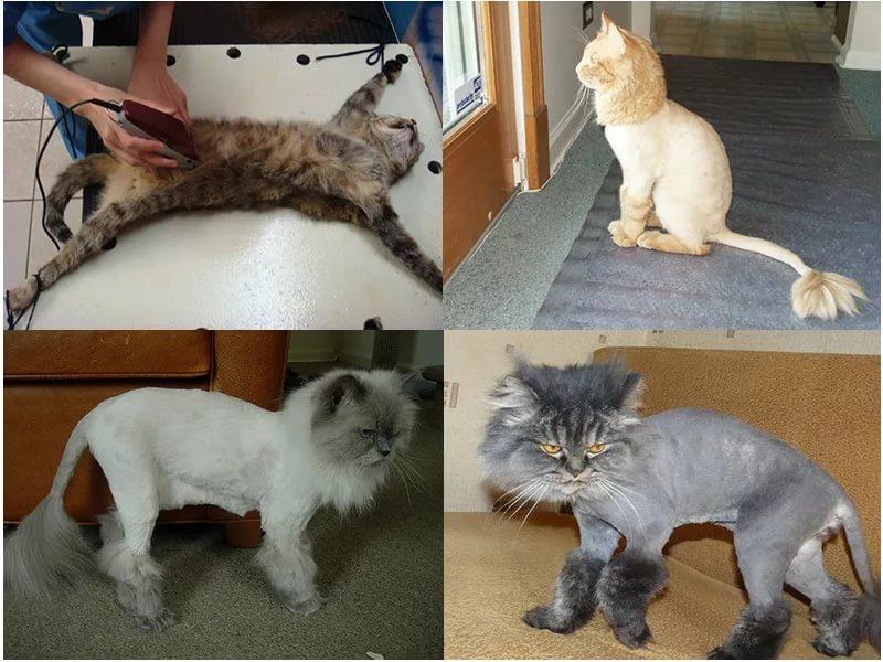 Груминг кошек: как сделать стрижку питомцу в домашних условиях