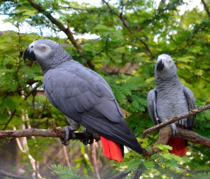 Содержание попугая жако в домашних условиях