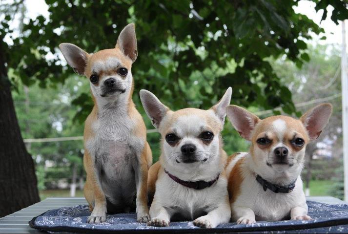 Чихуахуа фото собаки, описание породы, мини и длинношерстные, сколько живут, отзывы владельцев