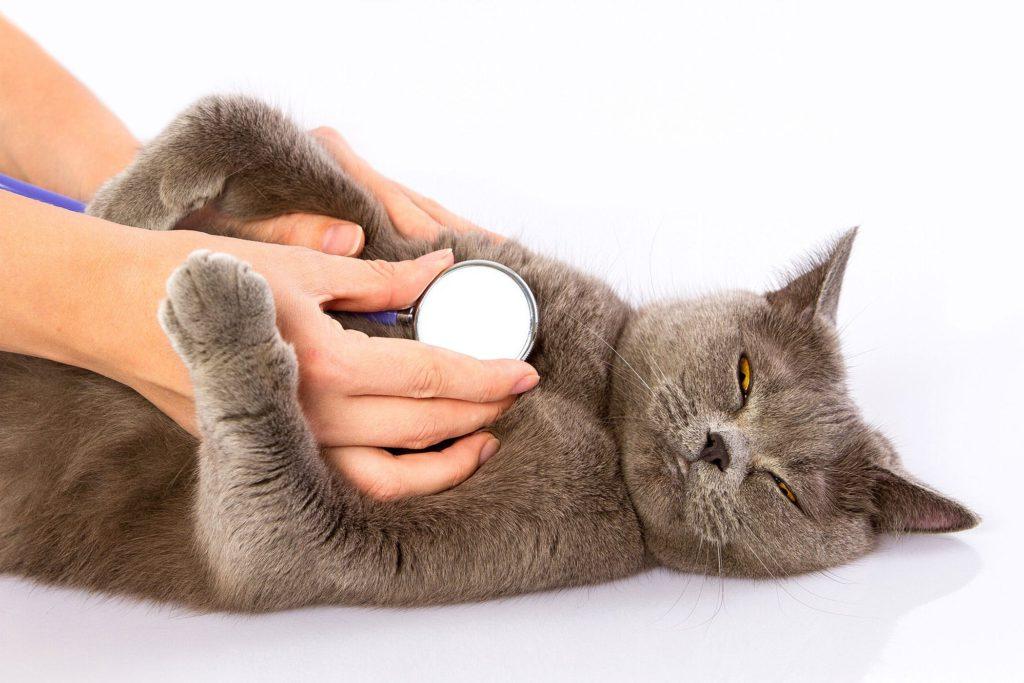 Стригущий лишай у кошек фото признаки и лечение в домашних условиях (мокнущий и розовый лишай)