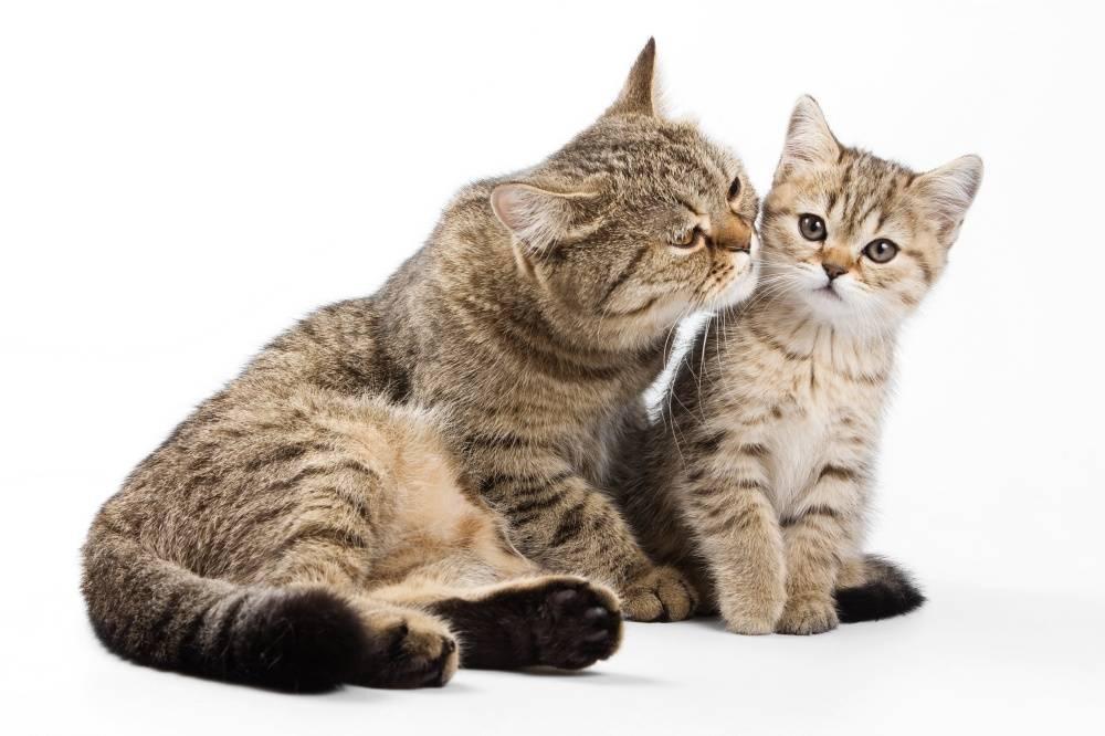 Как подружить двух кошек или котов в одной квартире: особенности сосуществования взрослых животных и котят разного или одинакового пола