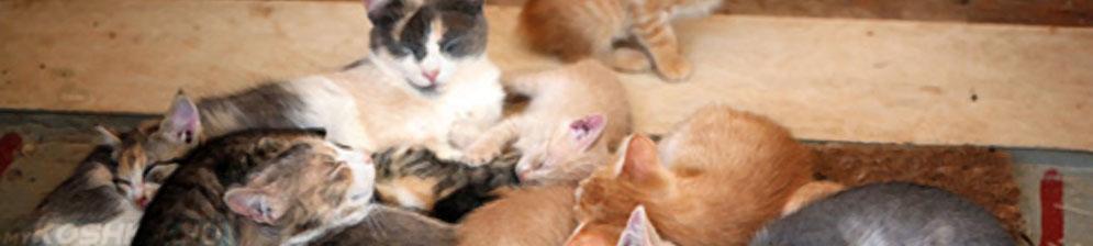 Интервал между котятами во время родов у кошек, нормальных, стремительных, затяжных
