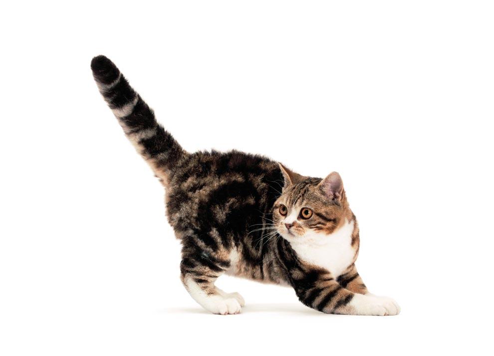 Американская жесткошерстная кошка (20 фото): чем уникален американский жесткошерстный кот? описание породы рыжих кошек с рисунком на спине